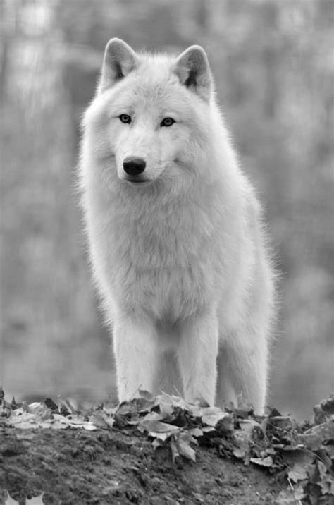 Seven White Wolves the gallery for gt baby gray wolves