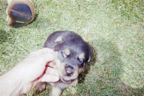 rottweiler puppies for sale in pittsburgh pa akc ckc chion bloodline rotty pups for sale adoption from markleysburg pennsylvania