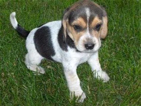 beagle puppies for sale in indiana beagle puppies for sale