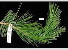 Factsheet - Pinus greggii M.n
