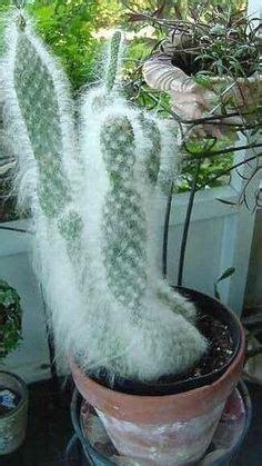 prickly pear snow opuntia snow cacti succulents