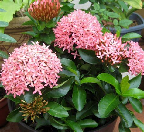 tanaman soka pink