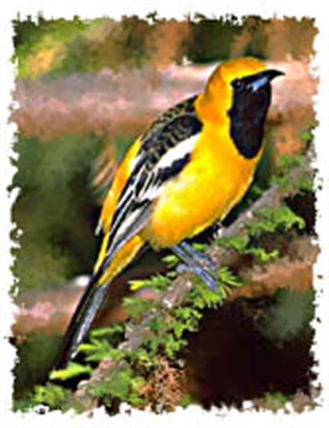 get facts and information about the baltimore oriole plus