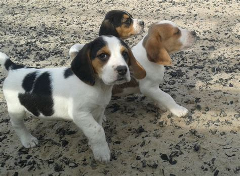 pets for homes dogs beagle puppies for sale brecon powys pets4homes