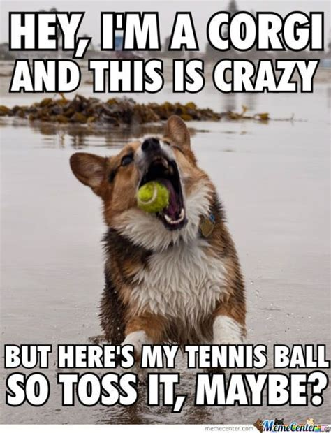 Funny Corgi Memes - oh my corgi this picture is too facking funny xdd by