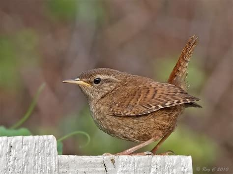 1000 images about wrens on pinterest wren coin jewelry