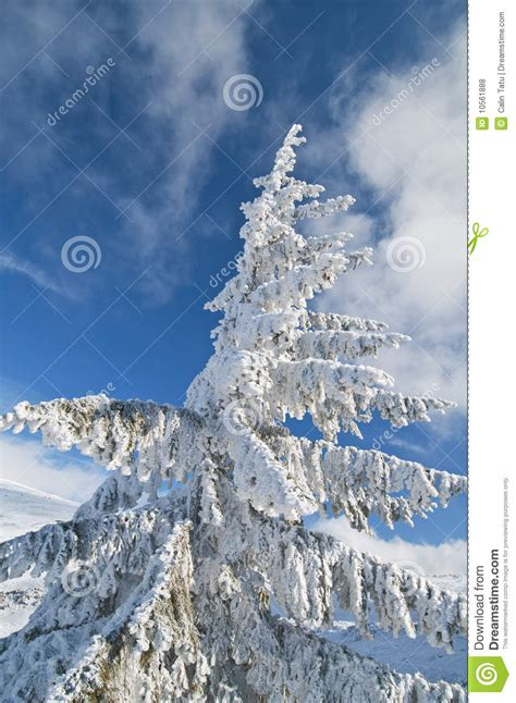 Frozen Sky Blue frozen fir tree isolated on blue sky royalty free stock