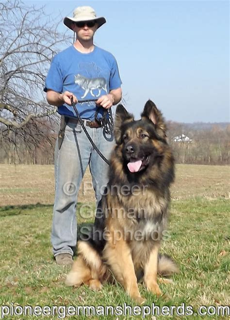king german shepherd shepherd breeders are you king shepherd breeders are your dogs king shepherds