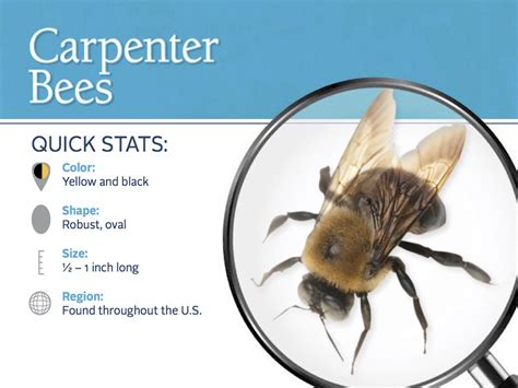 how to get rid of carpenter bees pest info photos