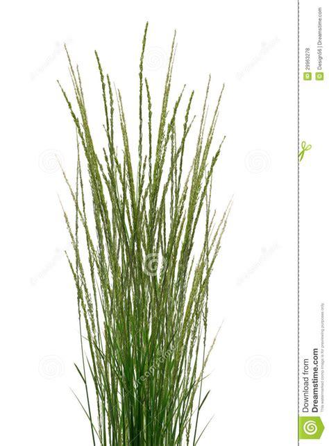 Tropical Climbing Plant - tropical grass stalks royalty free stock photos image 29963278