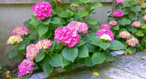 come curare l ortensia in vaso come curare e coltivare l ortensia sui nostri balconi per