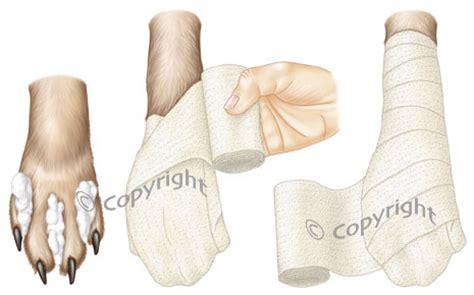 paw bandage how to bandage your chinaroad lowchens of australia