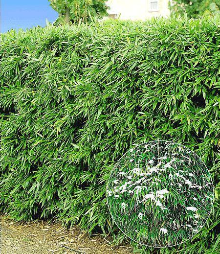 Garten Dicht Pflanzen by Winterharte Bambus Hecke 10 Pflanzen Bambus