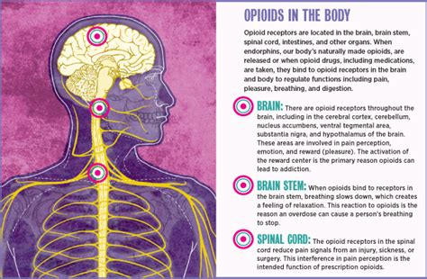 Opoid Detox Ogic Model Exle by Parts Of The Brain Choice Image How To Guide And