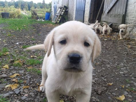 golden labrador retriever puppies for sale labrador x golden retriever puppies for sale cumnock ayrshire pets4homes