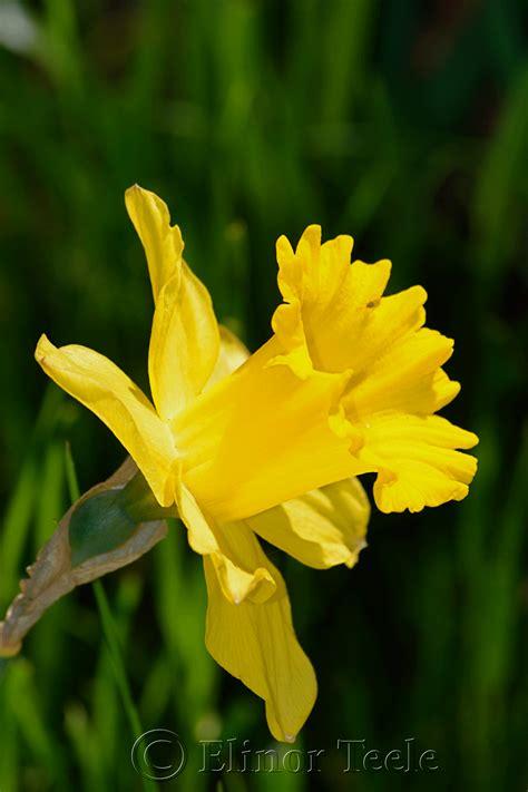 daffodil yellow daffodil