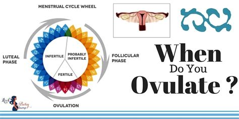 what does it when you about a when do you ovulate our ultimate guide