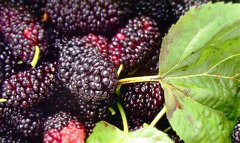 Bibit Tanaman Arbei harga buah arbei per kg terbaru mei 2018 hargabulanini