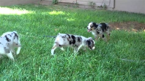 australian shepherd puppies colorado pin australian shepherd puppies for sale on