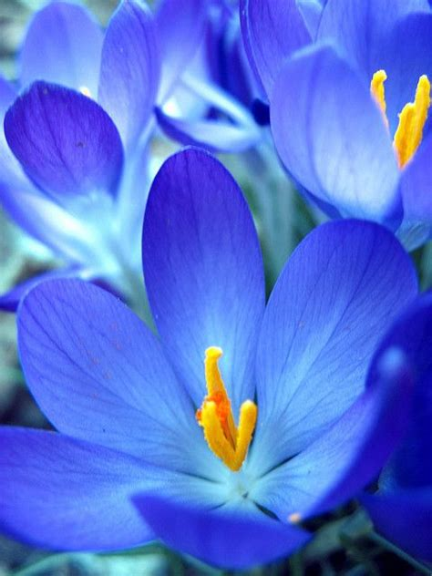 beautiful blue color blue flower crocus by slowitdown flowers