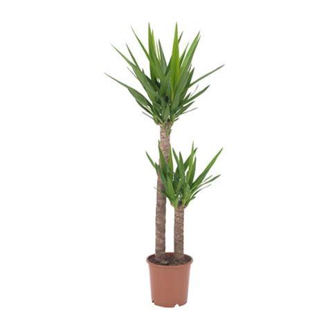 yucca palme schlafzimmer yucca elephantipes pflanze ikea