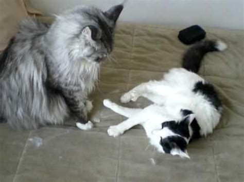 maine coon vs regular housecat   YouTube