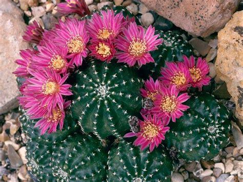 fiore pianta grassa piante grasse con fiori piante grasse coltivazione