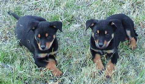 australian kelpie puppies for sale australian kelpie puppies for sale