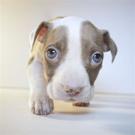 Images For Gt Cute Baby Pitbulls Puppies Pictures Of