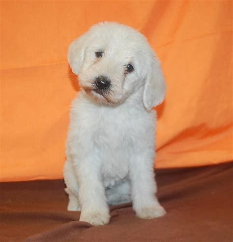 goldendoodle puppy breeders goldendoodle puppies for sale