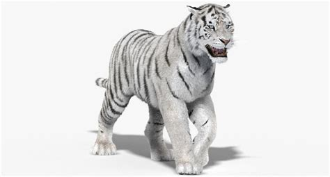 Kaos 3d White Tiger 3d model tiger white fur animation
