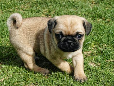 raza pug venta de cachorros perros de raza pug cachorros hermosos cachorros pug en jalisco