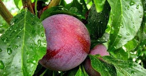 when should you spray fruit trees when should you spray fruit and plum trees for insects