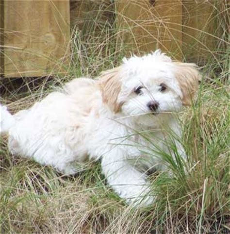 zuchon puppies zuchon puppies breeders zuchons