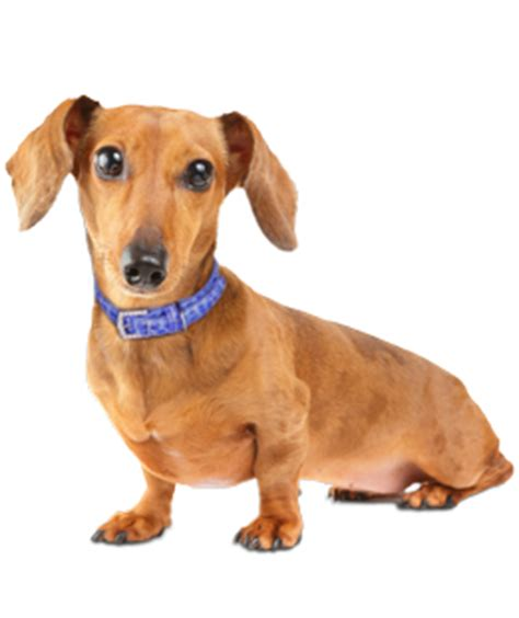 wiener breed dachshund puppies dogs for adoption