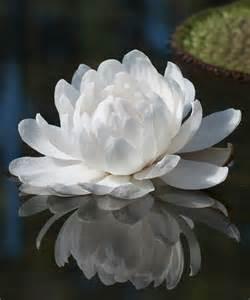 White Lotus Wiki Amazonica