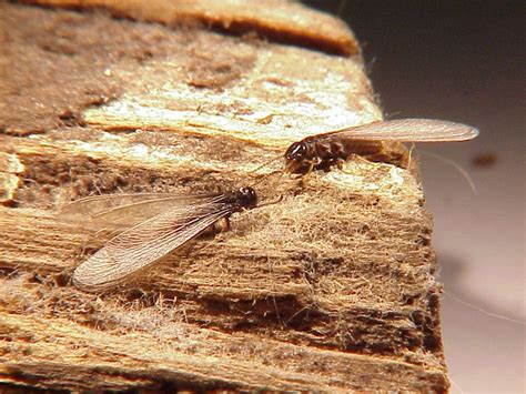 Bed Bugs Treatment Cost Termites Spring Into Action St Louis Termite Control