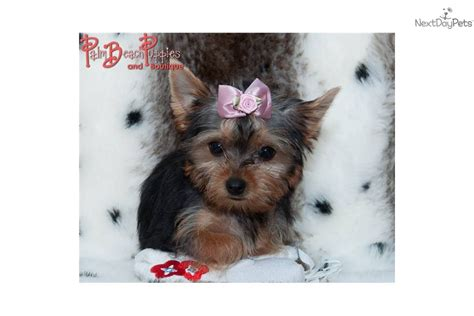 teddy yorkie puppies for sale teddy yorkie baby terrier yorkie puppy for sale near fort