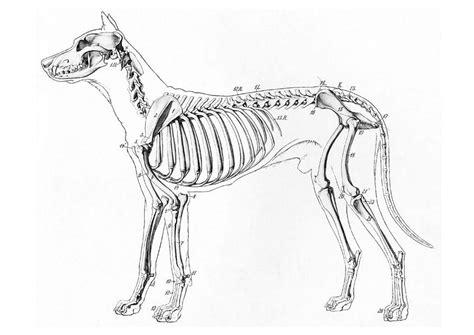 dog skeleton coloring page coloring page dog skeleton img 19660