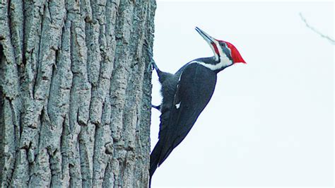 blane klemek column pileated woodpecker can hollow out