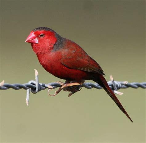 uccelli esotici da gabbia uccelli da gabbia diamante rosso