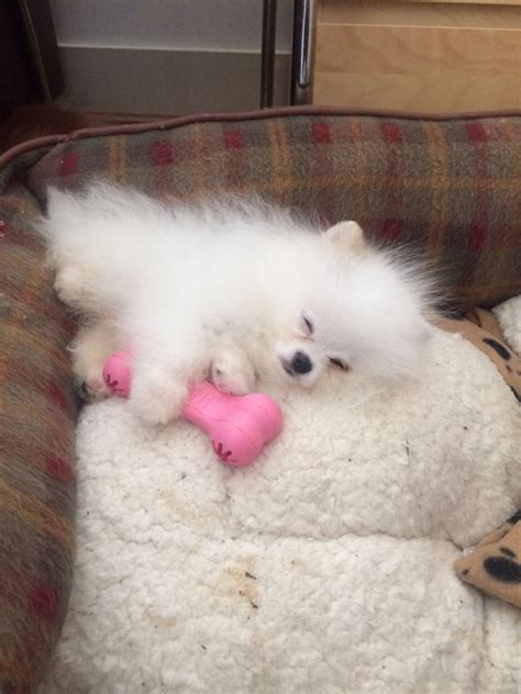 white teacup pomeranian for sale uk pin teacup pomeranian puppies for sale uk white on
