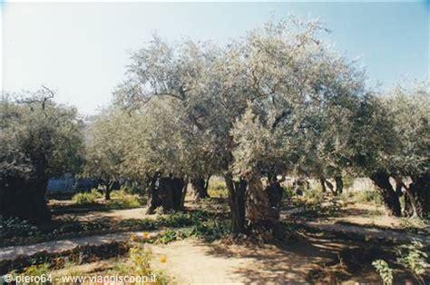 foto il giardino dei getsemani territori occupati palestina