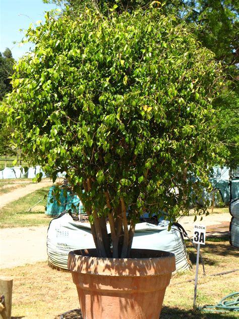 trendiest container garden trees