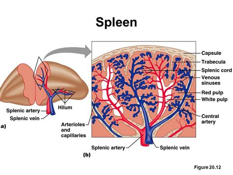 diagram of spleen the lymphatic and immune systems ppt