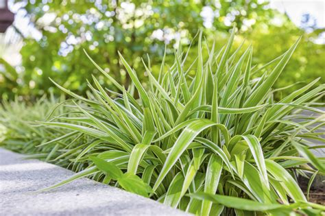 spider plant caring for spider plants in gardens using spider plant