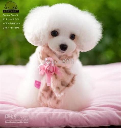 asian cuts for dogs 40 best asian fusion grooming images on pinterest poodle