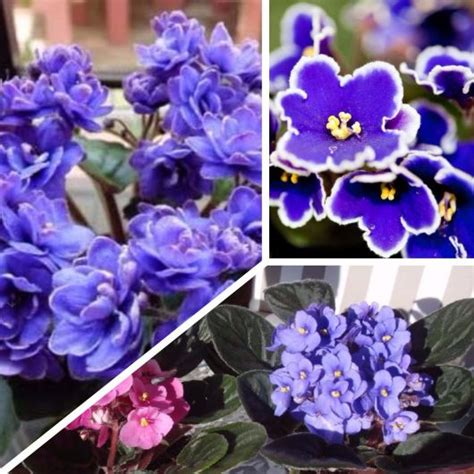 como cuidar de violetas africanas como cuidar de violetas guia completo com dicas e passo