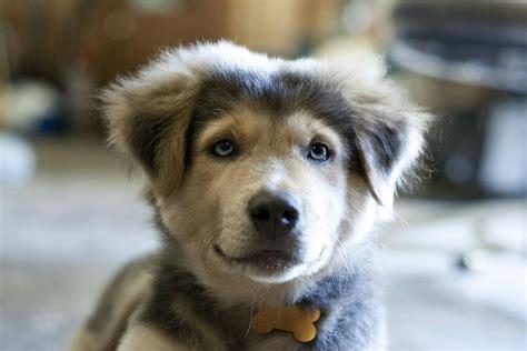 bluetick coonhound chocolate lab mix 18 breathtaking husky golden retriever mixes