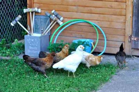 Backyard Chickens Food Are Backyard Chickens Pets Or Food Green Utne Reader